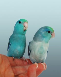 turq-turq-pied-2011-1sm